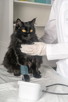 Medical examination of the animal, blood pressure measurement in the veterinary clinic.