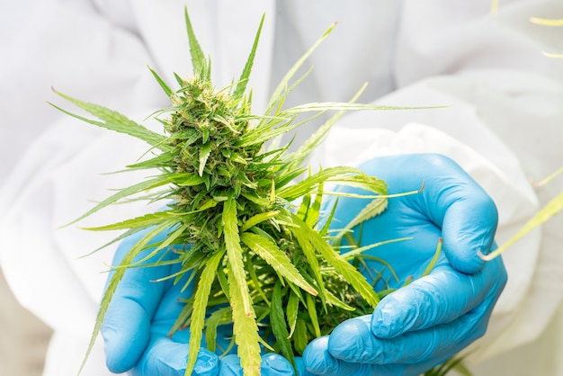 Medical marijuana in cannabis  flower before the harvest concept of herbal alternative medicine, cbd oil, medicine  industry in a greenhouse.