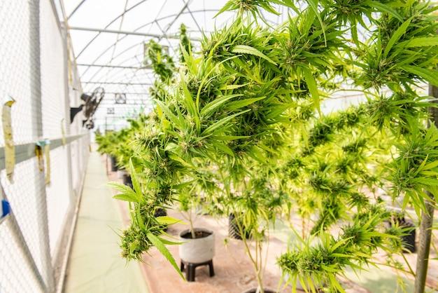 Medical marijuana in cannabis  flower before the harvest concept of herbal alternative medicine, cbd oil, medicine  industry in a greenhouse.