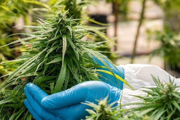 大麻の花の医療用マリファナ収穫前のハーブ代替医療、cbdオイル、温室内の製薬業界の概念。