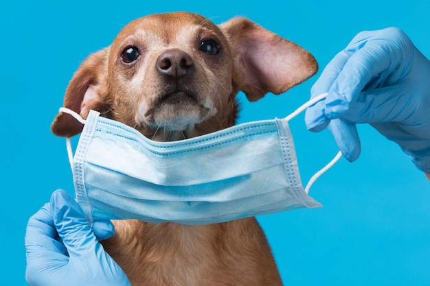 A medical mask is put on the face of a small dog, the concept of protection against the coronavirus pandemic