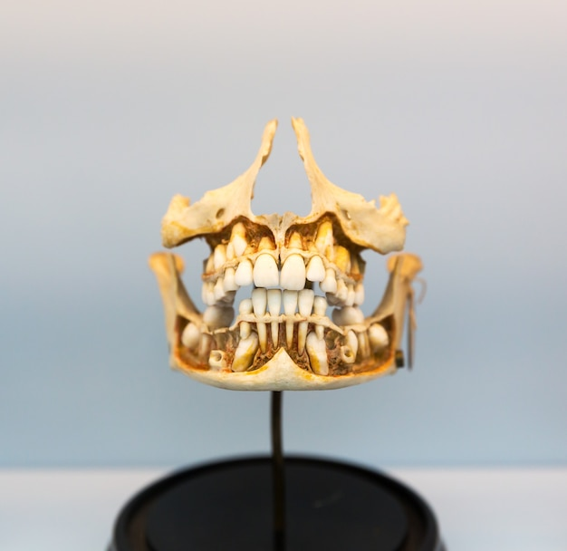 Medical model of the human jaw on the stand. learning of the human mouth structure.