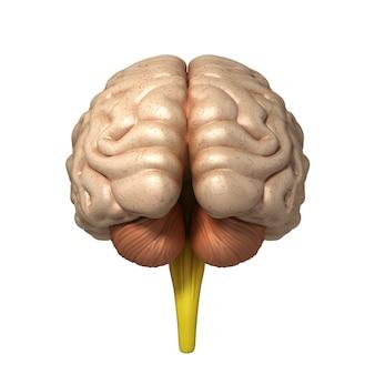 뇌의 의학적으로 정확한 그림 3d 렌더링