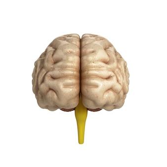 뇌의 의학적으로 정확한 일러스트레이션