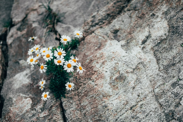 Medicinal chamomile growing in the mountains among the rocks