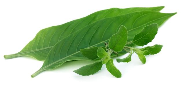 Лекарственные травы ã ¢ â € â «листья тулси и басак на белом фоне.