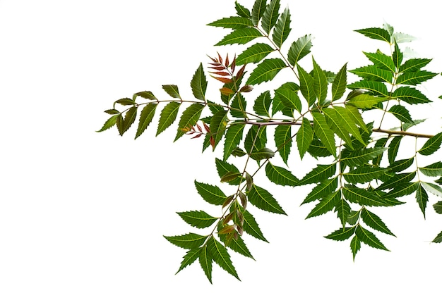 Лист лекарственного нима на белой поверхности. azadirachta indica.