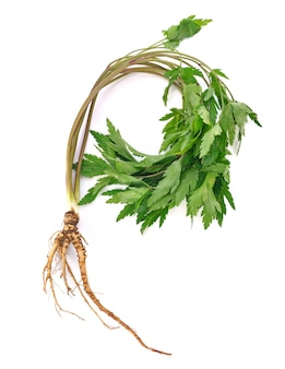 Medicinal plant ginseng isolated on white.