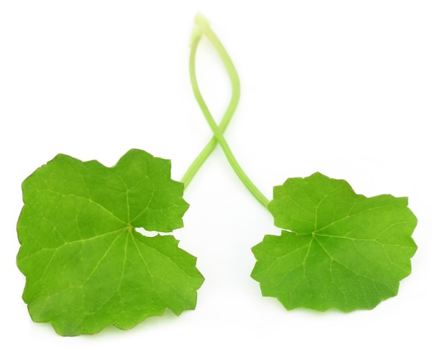 Лекарственные листья благодарюни индийского субконтинента на белом фоне