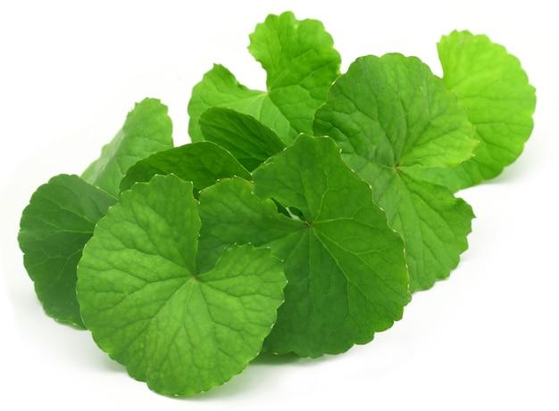 Лекарственные листья благодарюни индийского субконтинента