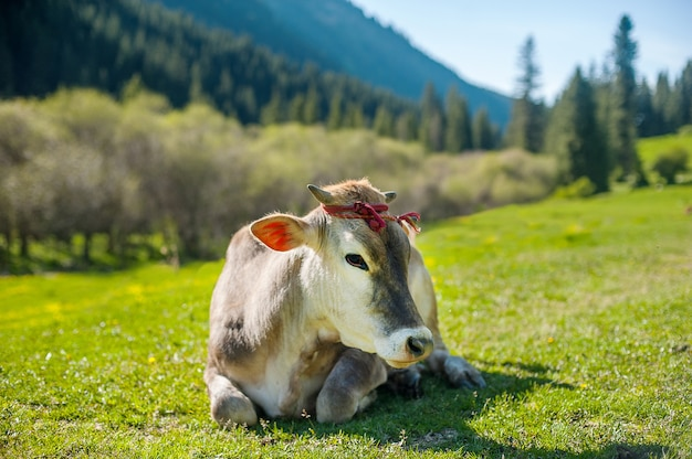 Meditative cow on the mountain pasture. cow face portrait. cow lying on mountain grass