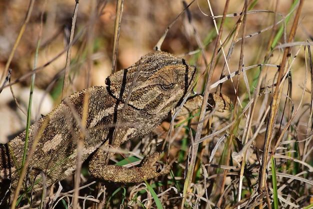 Un camaleonte mediterraneo che si crogiola e cammina sulla vegetazione della gariga a malta.