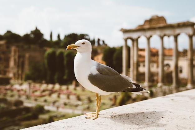 Средиземноморская чайка сидит на камнях римского форума в риме, италия. летний фон с солнечным днем и голубым небом