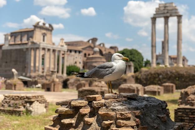이탈리아 로마에 있는 로마 포럼의 돌에 앉아 있는 지중해 갈매기. 화창한 날과 푸른 하늘이 있는 여름 배경