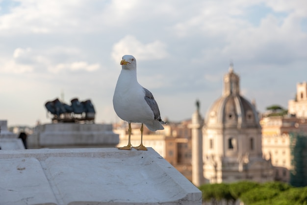 Mediterranean gull seating on roof of vittoriano on the background of view of rome at sunny day