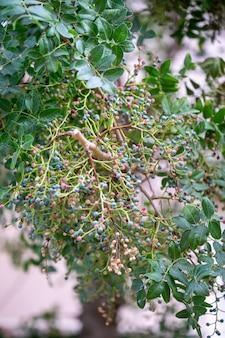 Средиземноморский каркас (celtis australis), широко известный как дерево крапивы европейское, дерево лоте или ягоды с плодами.