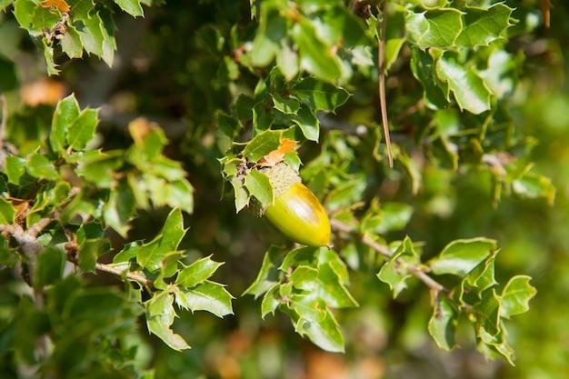 Mediterranean oak acorns macro detail