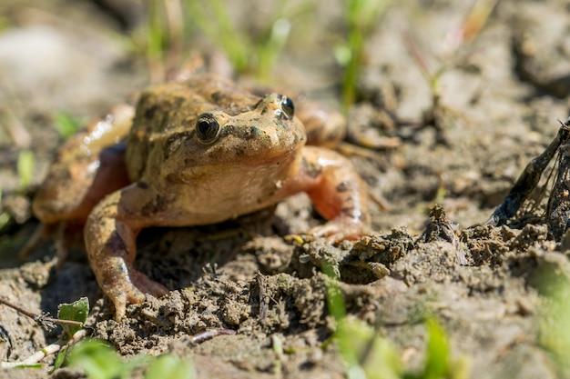 Средиземноморская расписная лягушка отдыхает в грязи и воде