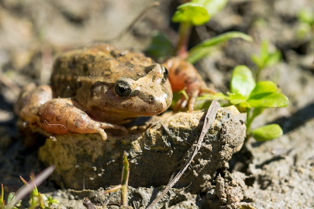 Mediterranean painted frog resting in mud and water