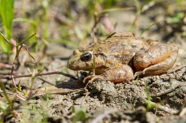 Mediterranean painted frog resting in mud and water