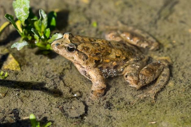 Rana dipinta mediterranea che riposa in fango ed acqua
