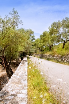 Mediterranean road with olive trees and wild carrot