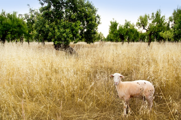 Mediterranean sheep on wheat and almond trees field