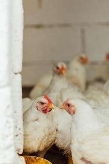 Курица среднего выстрела в загоне Premium Фотографии