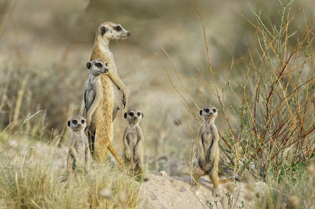 Famiglia meercat alla ricerca