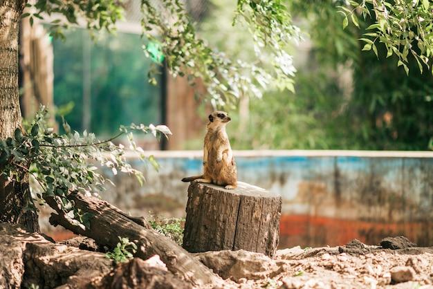 Meercatは動物園に立って目をそらしています。