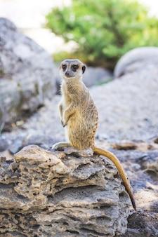 ミーアキャットは野生の岩の上に直立しています_