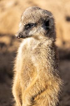 Meerkat essendo vigile nel deserto