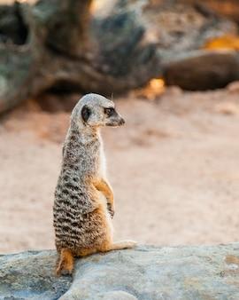 オーストラリアの動物園で見つかったミーアキャットのかわいいスリカテ