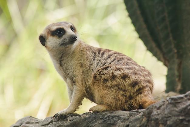 ミーアキャットは体のサイズが小さいです。哺乳類です