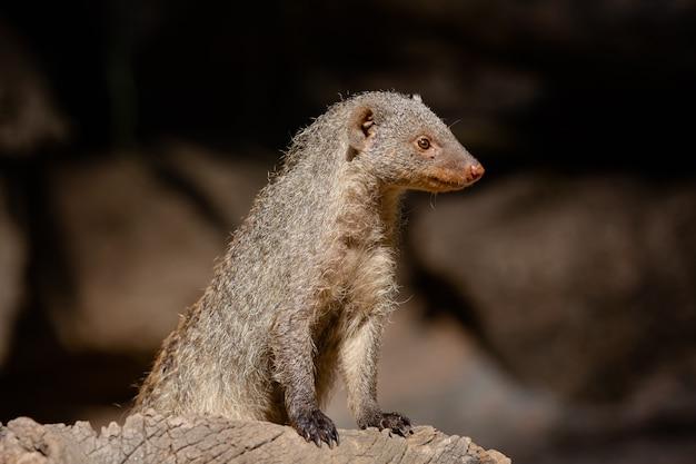 Сурикат - это вид млекопитающих семейства herpestidae.