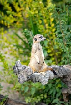 Meerkat은 몽구스 가족의 포유류 종입니다.