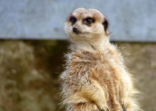 Meerkat , meerkat