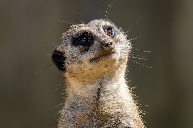 Meerkat 또는 suricate 클로즈업 초상화