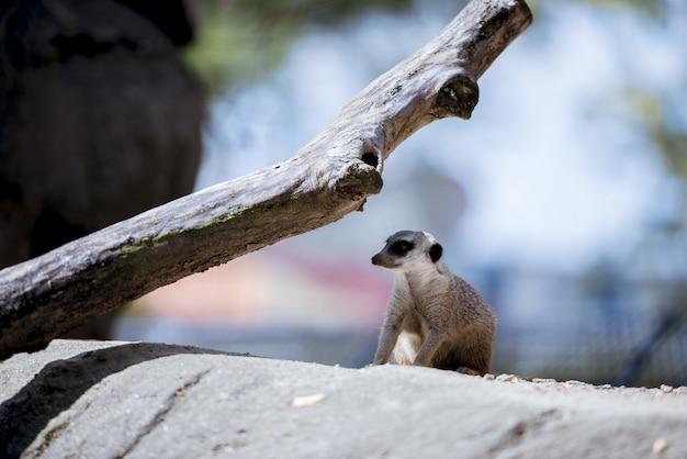 Meerkat su una roccia