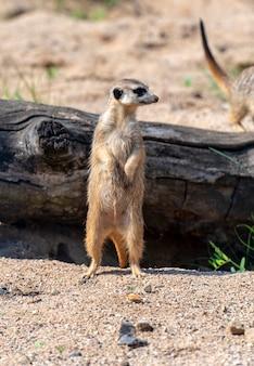 Meerkat suricataまたはsuricatta  - 自然公園でのアフリカのネイティブ動物
