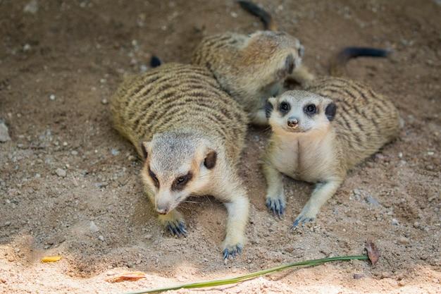 Meerkat or suricate. wild animals.
