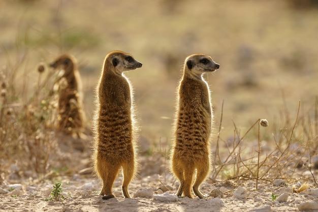 Meerkats on guard at dusk