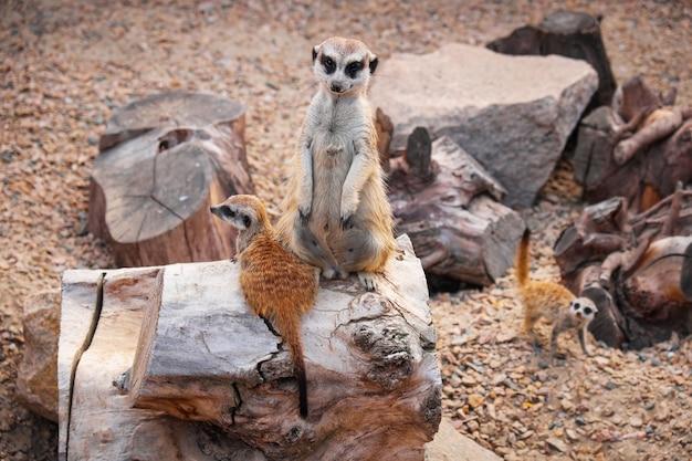 動物園の檻の中のミーアキャット(スリカット)野生動物