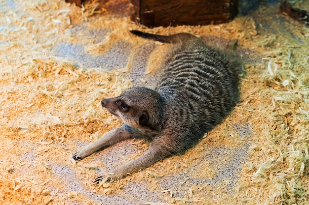 Meerkats in the zoo. suricate.