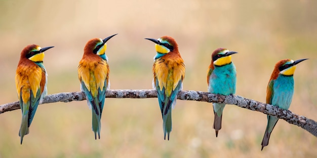 Meeting of four bee-eaters