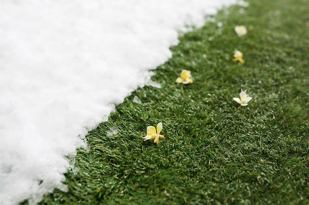 Meeting white snow and green grass with flowers close up. between winter and spring concept background.
