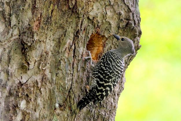 バフ・ランプのキツツキmeiglyptes tristisタイの美しい鳥