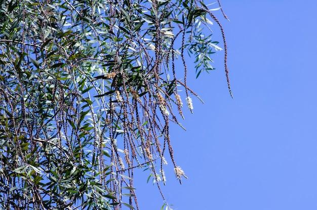 Melaleuca cajuputi는 푸른 하늘을 배경으로 일반적으로 cajuput으로 알려진 꽃과 씨앗을 남깁니다.
