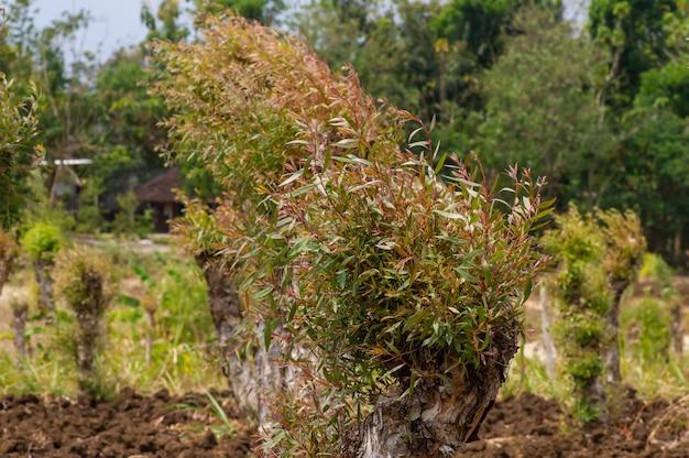 インドネシア、ジョグジャカルタのグヌンキドゥルにあるメラルーカカジュプティ植物(通称カジュパット)