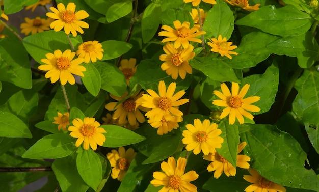 Melampodium butter daisy、ミニサンフラワー、黄色い花rudbeckia、heliopsis helianthoides、空に向かって咲く、浅い焦点